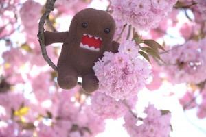 Domo in Sakura